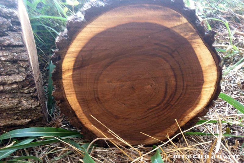 Óc chó là loại gỗ có giá trị kinh tế cao